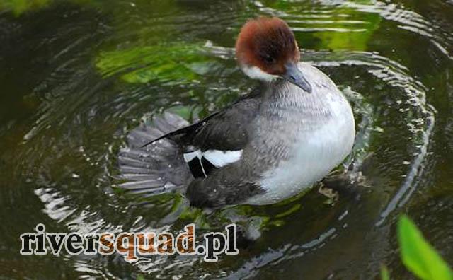 Tracz Nurogęś - można ją spotkać podczas spływów po Wiśle